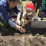 イモ苗植え